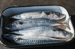 Whole mackerel fishes in tray. Ocean raw whole mackerel fishes in used steel enamelled tray prepared for cooking Stock Photos
