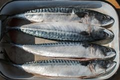 Whole mackerel fishes in tray. Ocean raw whole mackerel fishes in used steel enamelled tray prepared for cooking Royalty Free Stock Photography