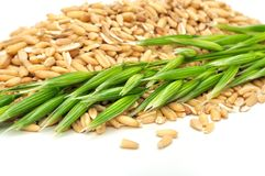 Whole Oats And Ear Close-up Royalty Free Stock Photo