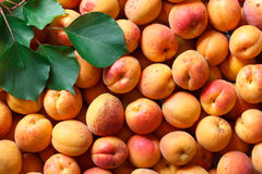 Whole orange apricots with red blush and leaves. Background from Stock Image