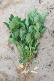 Whole peanut plant on sandy soil background Stock Photo