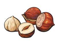 Hazelnuts isolated on white background. Whole and peeled hazelnuts, vector illustration isolated on white background. Drawing of hazel nuts on white background Royalty Free Stock Images