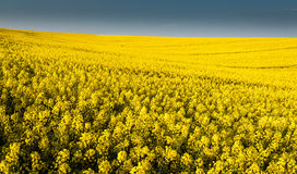 Whole picture canola field Royalty Free Stock Image