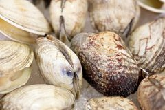 Whole raw clams mollusk on ice on display in market.  royalty free stock photography
