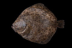 Whole raw flatfish caught in Spain. Whole fresh raw flatfish caught in the Alboran Sea in Spain, isolated on black background Stock Photography