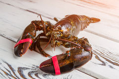 Whole raw lobster. Stock Photos