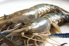 Whole raw prawns Royalty Free Stock Images
