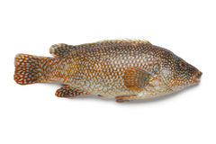 Whole red grouper fish. On white background stock photos
