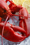 Whole red lobster, focus on the claw Stock Photography