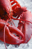 Whole red lobster on ice Royalty Free Stock Photos
