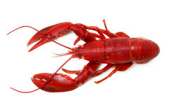 Whole red lobster isolated on white background Royalty Free Stock Image