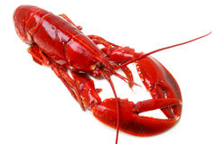 Whole red lobster isolated on white background Royalty Free Stock Photo