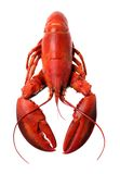 Whole red lobster isolated on white background Stock Photos