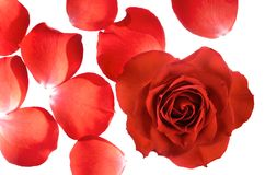 A whole rose and separate petals Royalty Free Stock Photos