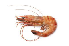 Whole single cooked shrimp Royalty Free Stock Images