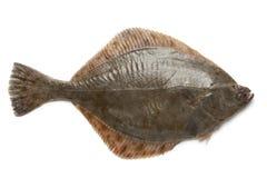 Whole single fresh  European flounder Stock Photos
