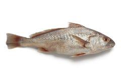 Whole single fresh raw koebi fish. On white background Royalty Free Stock Image