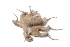 Whole single fresh raw octopus Stock Images