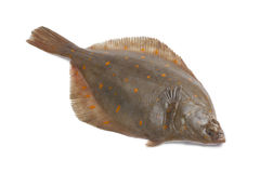 Whole single fresh raw plaice Royalty Free Stock Image