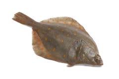 Whole single fresh raw plaice. Fishes on white background Royalty Free Stock Image