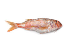 Whole single fresh Red mullet Royalty Free Stock Photos