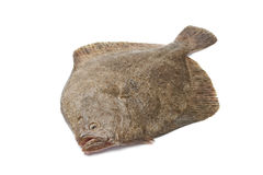 Whole single fresh Turbot fish Stock Images