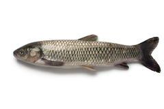 Whole single grass carp Royalty Free Stock Image
