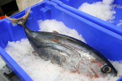 Whole tuna in an ice bucket royalty free stock image