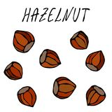 Whole Unpeeled Hazelnuts in Shell. Healthy Snack. Autumn or Fall Harvest Collection. Realistic Hand Drawn High Quality Vector Illu. Stration. Doodle Style royalty free illustration