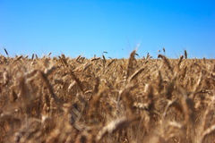Whole wheat. Beautiful brown whole wheat in the farm Royalty Free Stock Images