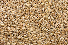 Whole wheat grain kernels background Stock Photos