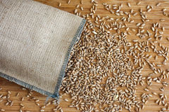 Whole wheat grain kernels spilling out of burlap bag Royalty Free Stock Image