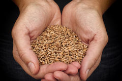 Whole wheat grain kernels in woman hands Royalty Free Stock Images