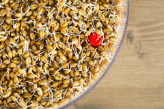 Whole Wheat Sprouting in Tray Royalty Free Stock Photography