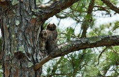 Whoo`s Looking. Pair of Great Horned Owls perch in a pine tree in North Florida royalty free stock photo