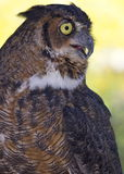 Great Horned Owl. A Great Horned Owl (Bubo virginianus) with its beak open Royalty Free Stock Photography