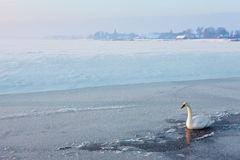 Whooer Swan on the ice. A sunny winter day in Dutch landscape, whooper swan on the ice Royalty Free Stock Image