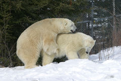 Whoopee time. Taken ast the polar bear facility in cochrane ontario.the 24 year old female was trying to mate with the 6 year old female Stock Image