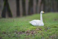 Whooper łabędź cygnus cygnus odpoczywa w trawie zdjęcia royalty free
