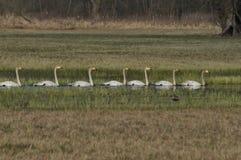 Whooper łabędź Wielki biały wodny ptak _ Fotografia Stock
