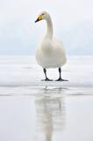 whooper лебедя Стоковая Фотография RF