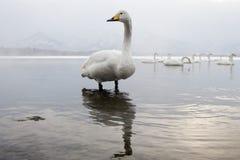whooper лебедя Стоковое фото RF