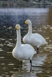 whooper лебедя Стоковое Фото