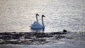 Pair of whooper swans on lake Stock Photo