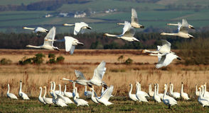 Whooper Flypast. A flock of Icelandic Whooper Swans during their winter migration in southwest Scotland royalty free stock image
