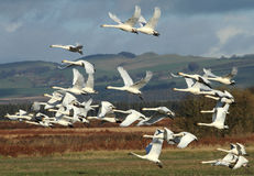 Whooper Flypast. A flock of Icelandic Whooper Swans during their winter migration in southwest Scotland stock photo