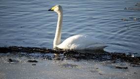 Large migratory swan Royalty Free Stock Photos