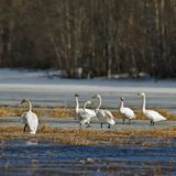 Whooper swan Royalty Free Stock Image