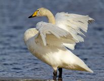 Whooper Swan. Drying wings preparing for flight Stock Images