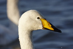Free Whooper Swan Stock Images - 23340964